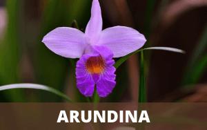 Arundina