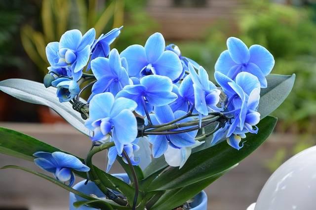 Blue-Mystic-A-phalaenopsis-azul