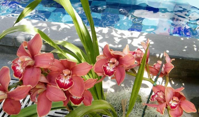 Cymbidium-com-flores-vermelhas-perto-da-água