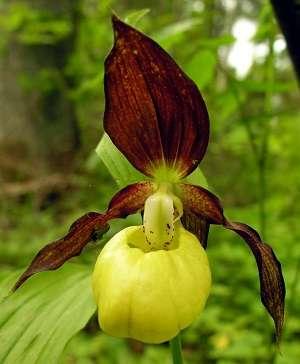 Cypripedium-orquídea-sapatinho