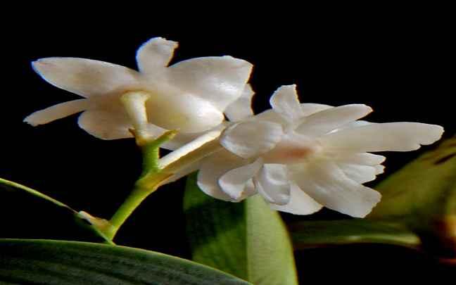 Dendrobium_aberrans