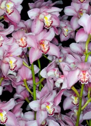 Flores-da-orquídea-cymbidium