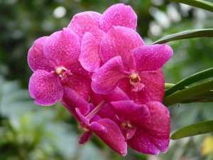 Flores-vanda
