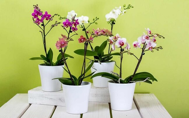 Onde-Plantar-Phalaenopsis
