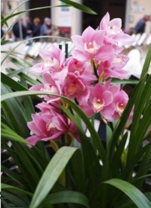 Orquídea-Cymbidium-1