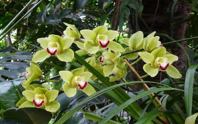Orquídea-Cymbidium