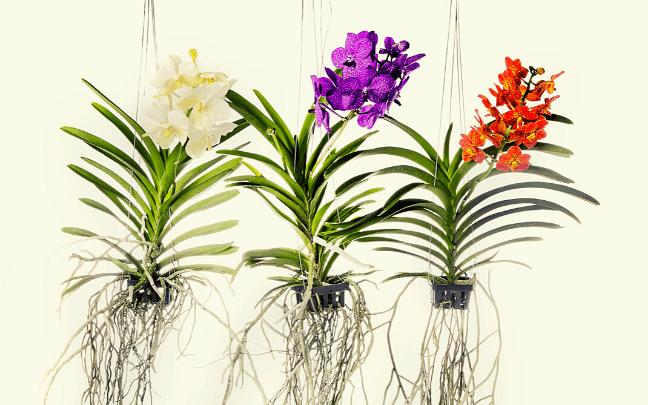 Orquídea-Vanda-pendurada