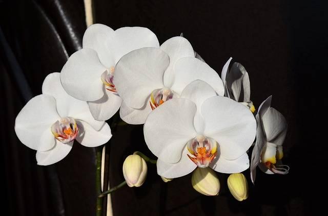 Orquídea-borboleta-branca