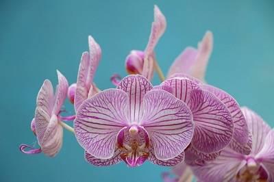Orquídea-borboleta-flores