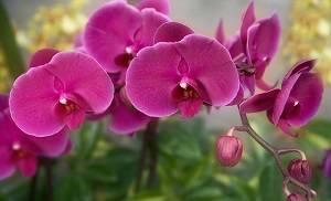 Orquídea-borboleta-rosa