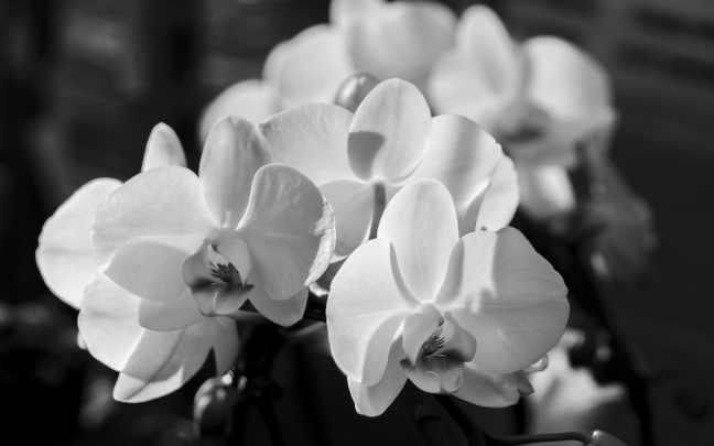 Orquídea-borboleta