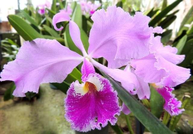 Orquídea-cattleya