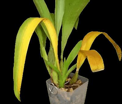 Orquídea-com-mancha-amarela-nas-folhas