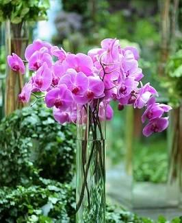 Orquídea-phalaenopsis-no-vaso