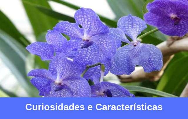 Orquídea-vanda-1