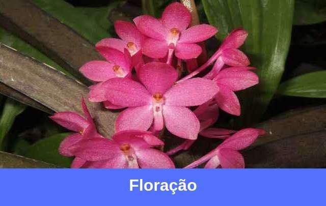 Orquídea-vanda-flores-e-floração