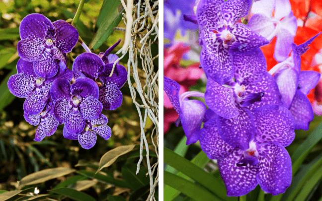 Orquídea-vanda