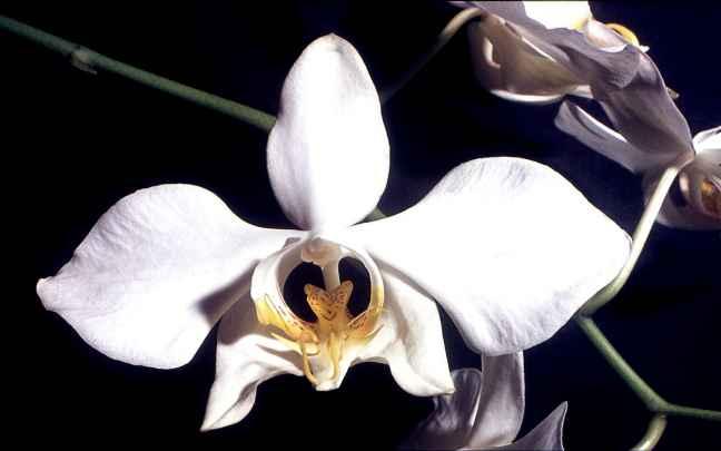 Orquídeas-Borboleta