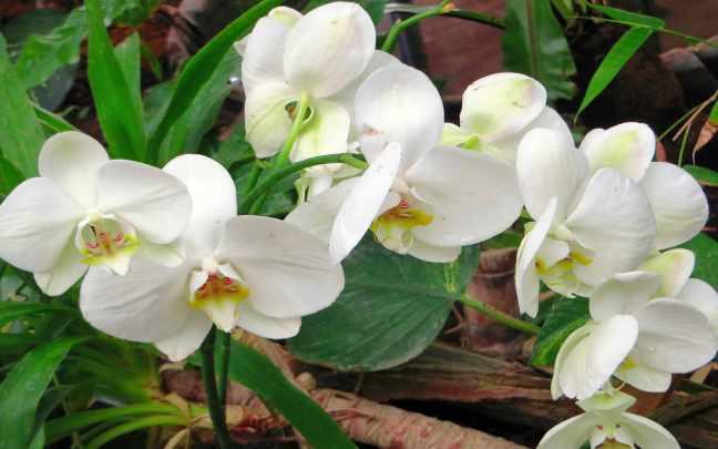 Orquídeas-Cymbidium