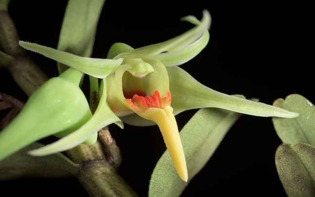 Orquídeas-Dendrobium