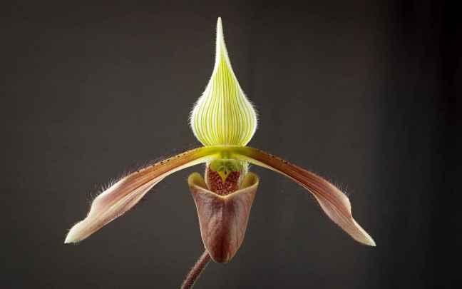 Orquídeas-Sapatinho