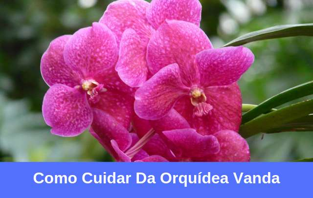 Orquídeas-vanda-como-cuidar