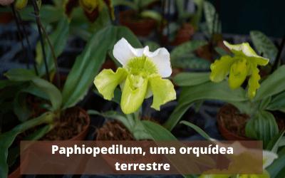Paphiopedilum-uma-orquídea-terrestre