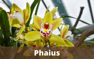 Phaius