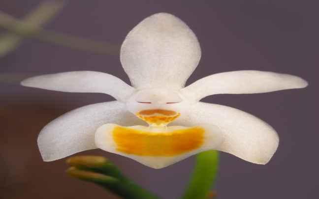 Phalaenopsis_malipoensis
