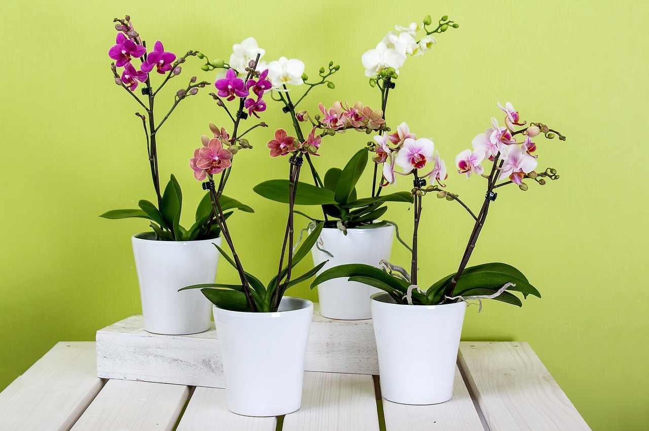 Replantar-Phalaenopsis