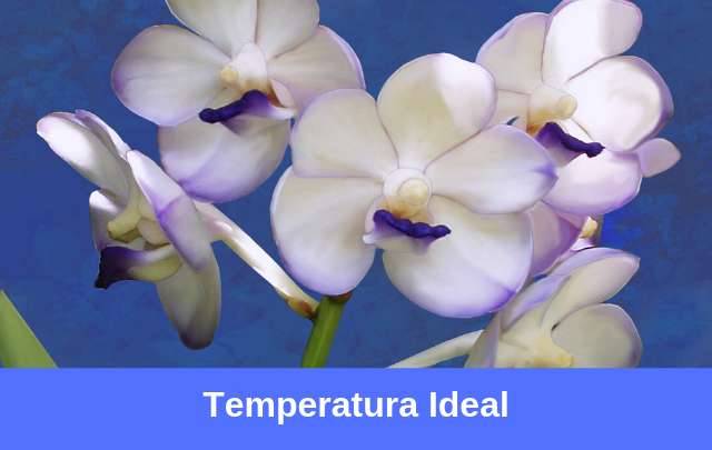 Temperatura-ideal-para-vandas