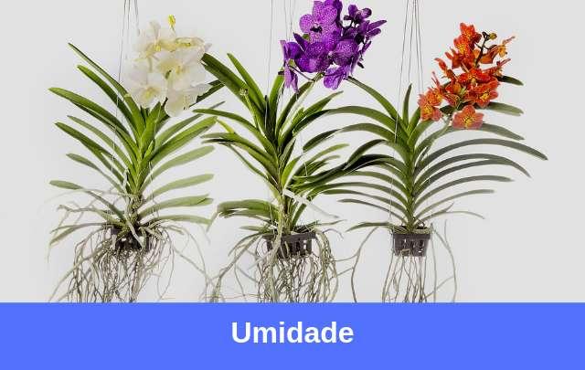 Umidade-ideal-para-vandaceas