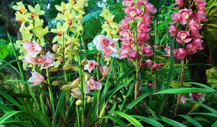 Várias-orquídeas-Cymbidium-floridas