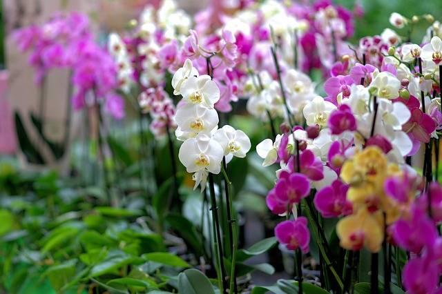 Várias-orquídeas-phalaenopsis-juntas