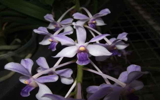 Vanda_coerulescens_flower