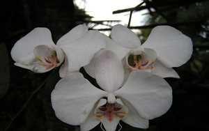 phalaenopsis-aphrodite