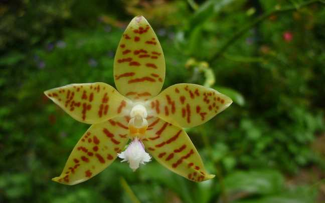 phalaenopsis-pallens