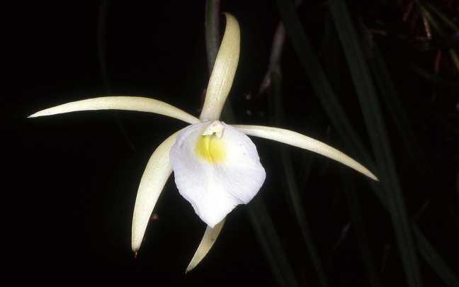Brassavola-tuberculata