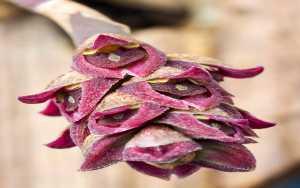 Bulbophyllum-aggregatum