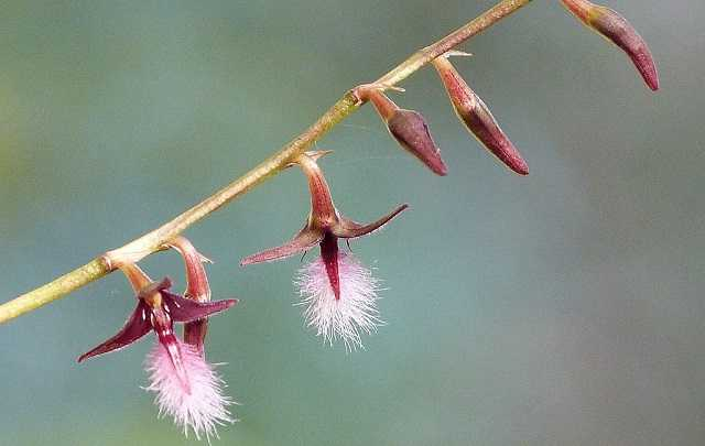 Bulbophyllum-miniatum-bulbophyllum-saltatorium