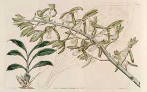 Catasetum-cristatum