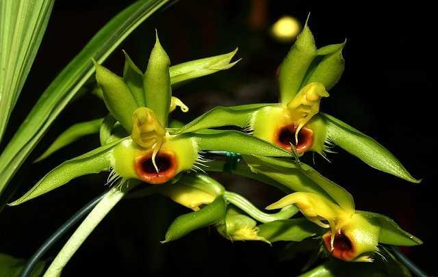Catasetum-osculatum-1