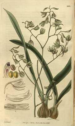 Encyclia-viridiflora