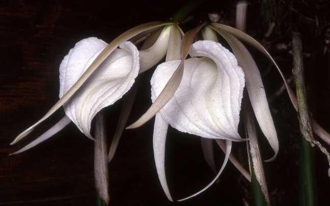 Orquídeas-Brassavola