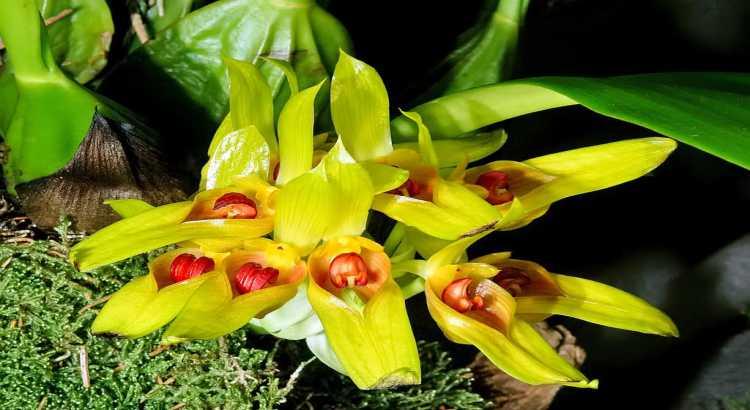 Orquídeas Bulbophyllum - 4 Segredos Simples Para Cultivá-las 1
