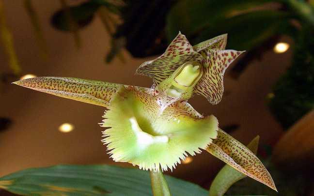 Orquídeas-Catasetum
