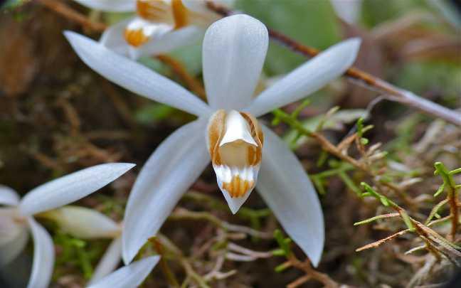 Orquídeas-Coelogyne