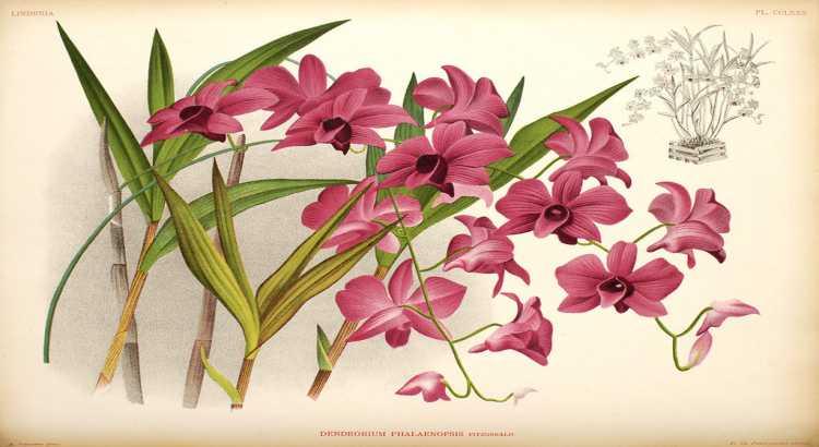 Orquídea Denphal - Como Cuidar em 7 Passos (Para Iniciantes) 7