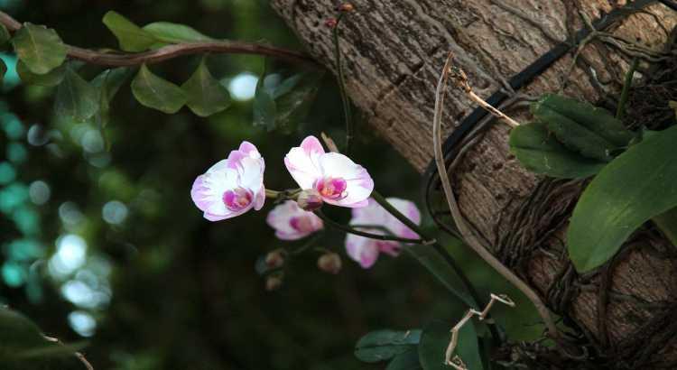 Orquídeas Epífitas - O Que São, Principais Espécies e Características 14