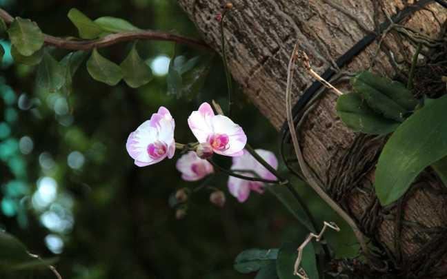 Orquídeas-Epífitas